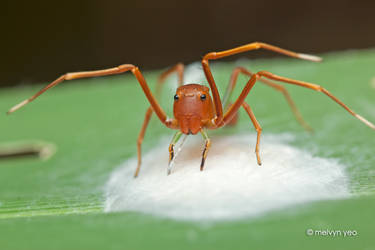 Ant-Like Crab Spider by melvynyeo