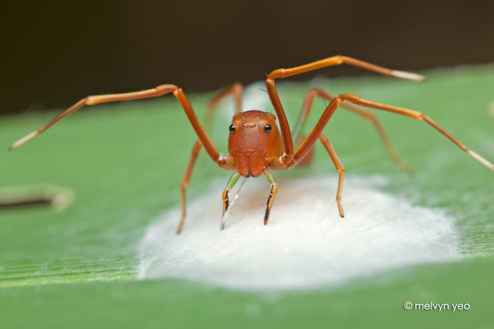 Ant-Like Crab Spider