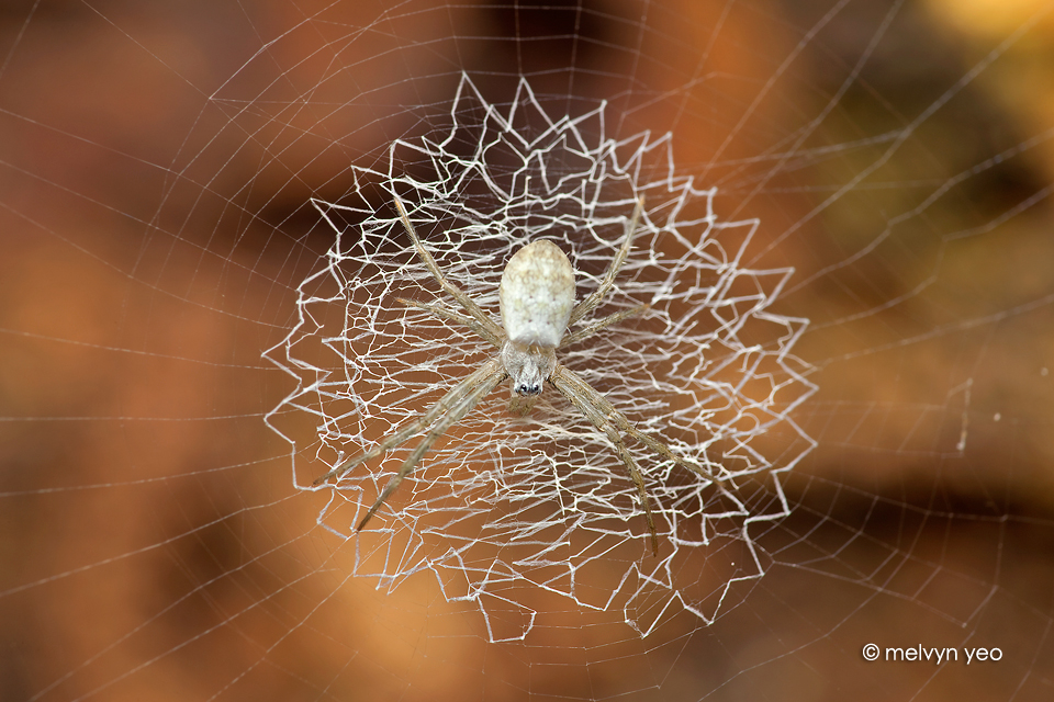 juvenile st andrew spider by melvynyeo