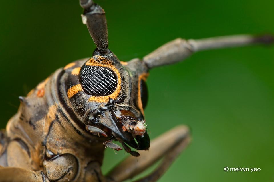 Longhorn beetle by melvynyeo