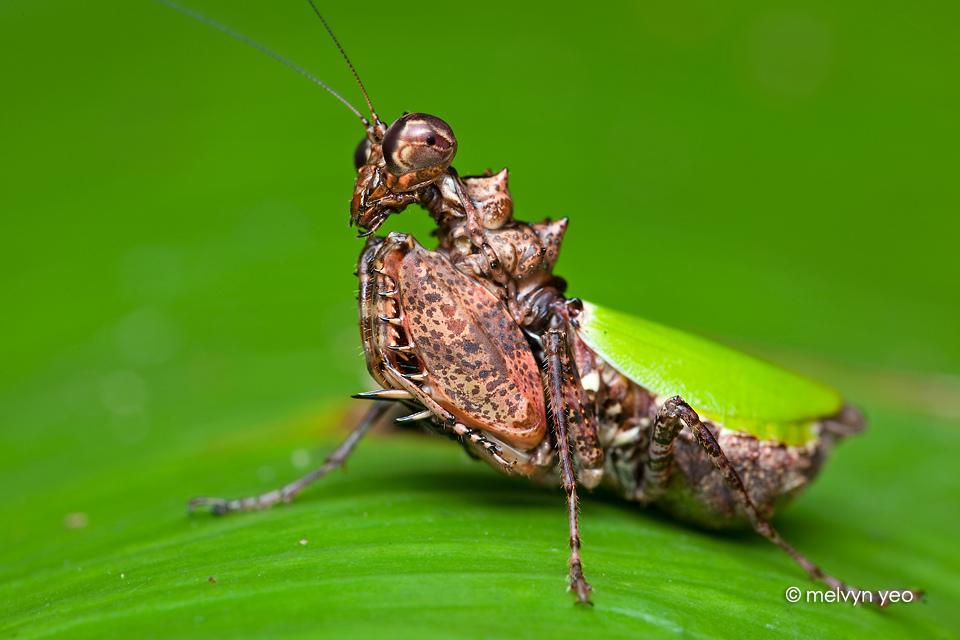 Pachymantis Bicingulata by melvynyeo