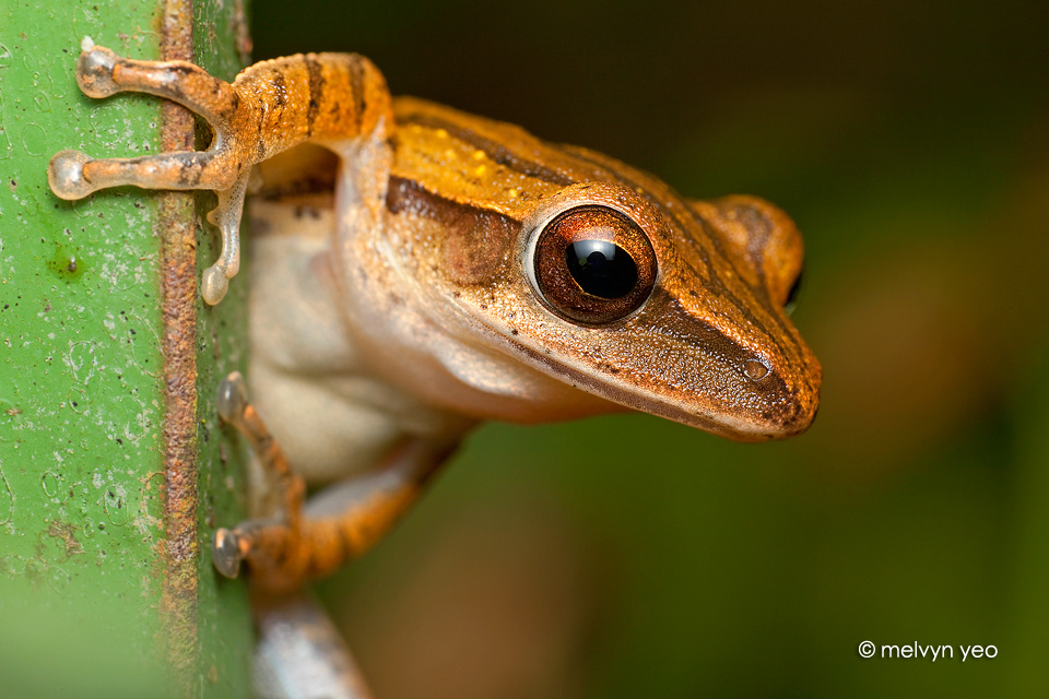 Posing frog by melvynyeo