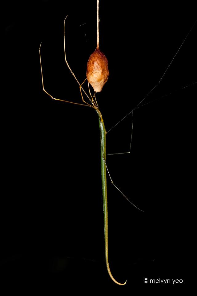 Ariamnes colubrinus (Whip Spider)