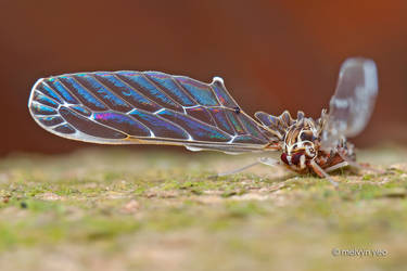 Iridescence Insect Wing by melvynyeo