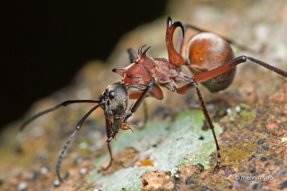 Fish-hook ant (Polyrhachis bihamata)