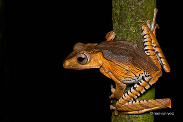 File-eared Tree Frog by melvynyeo