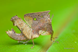 Leaf mimic Grasshopper by melvynyeo