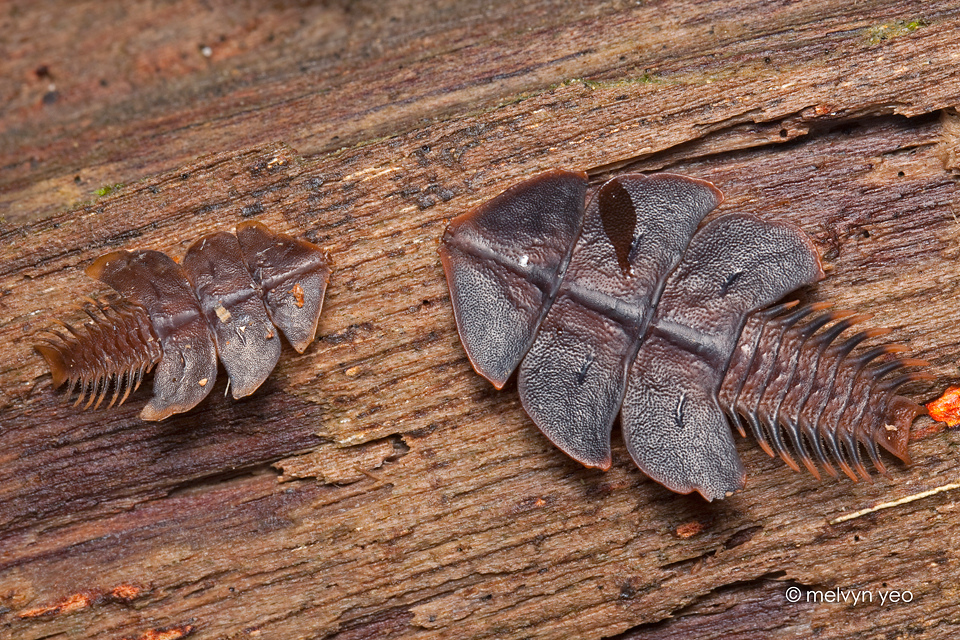 Trilobite Beetle by melvynyeo