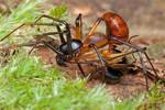 Zodiariidae Ant Mimicking Spider