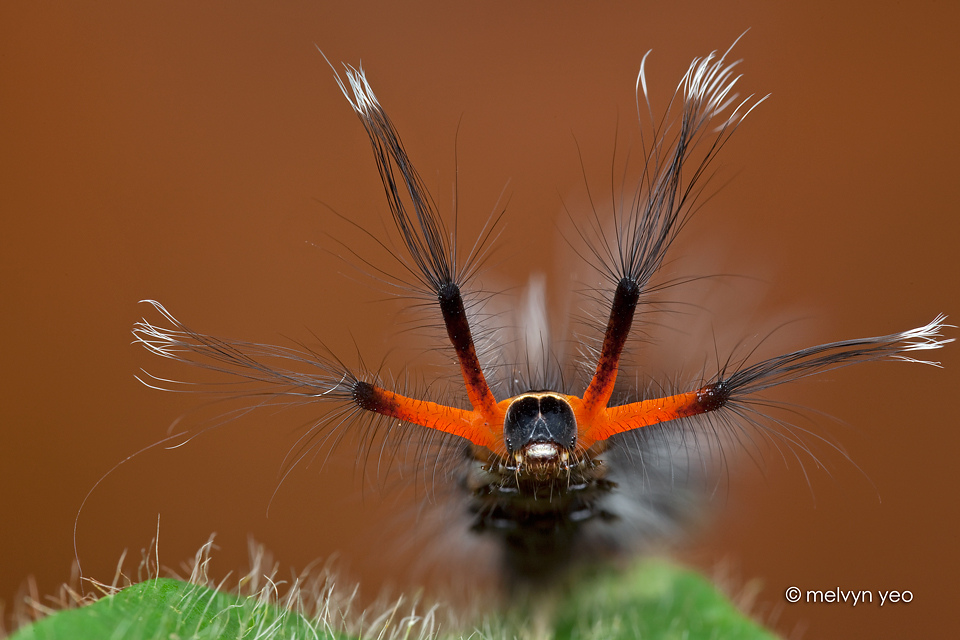 Hairy Caterpillar by melvynyeo