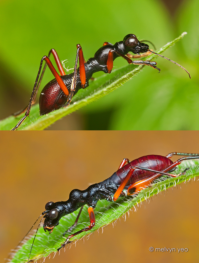 Batesian mimicry by melvynyeo