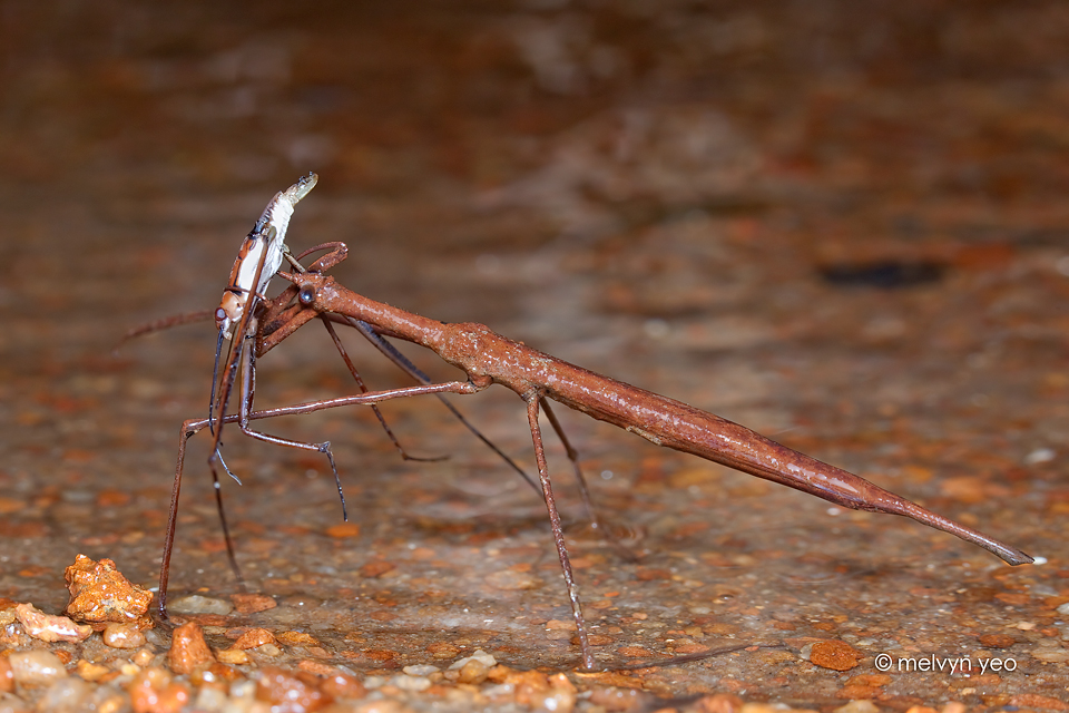 Water stick-insect by melvynyeo
