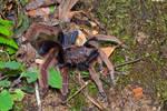 Malaysian Purple Femur Tarantula