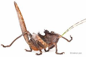 Dragon head katydid by melvynyeo