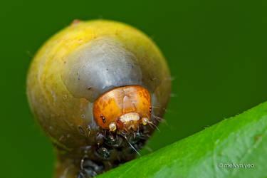 Nolid moth caterpillar by melvynyeo