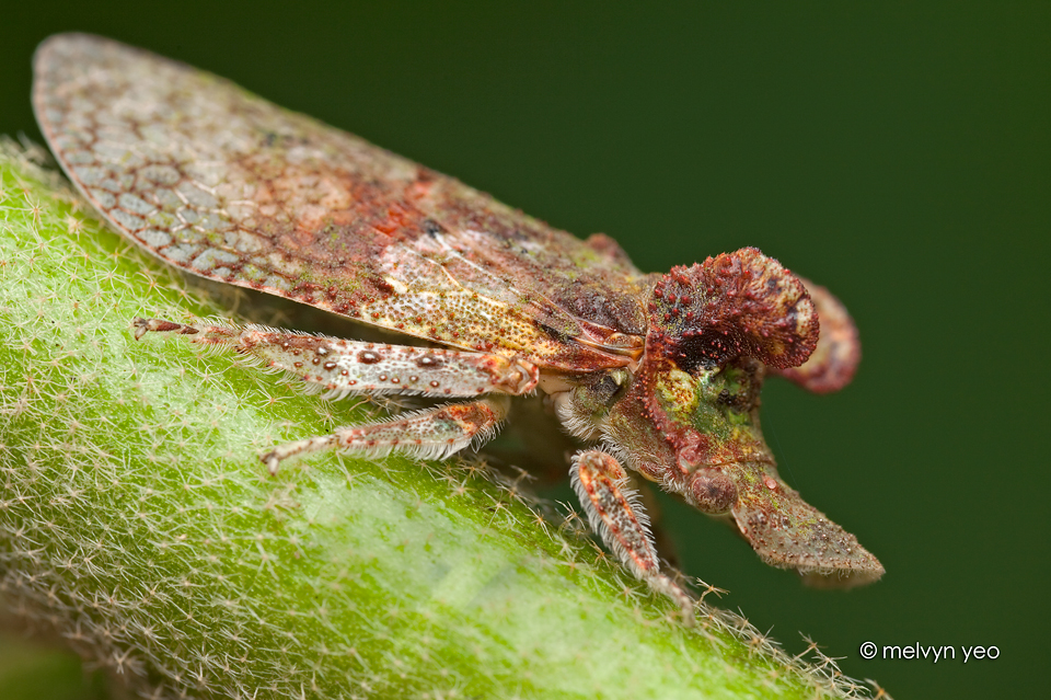 Flat-head Leafhopper by melvynyeo