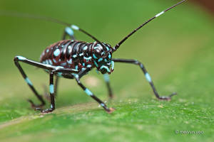 Turquoise blue katydid nymph by melvynyeo