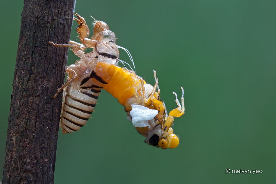 Moulting Black and Golden Cicada -Huechys fusca by melvynyeo