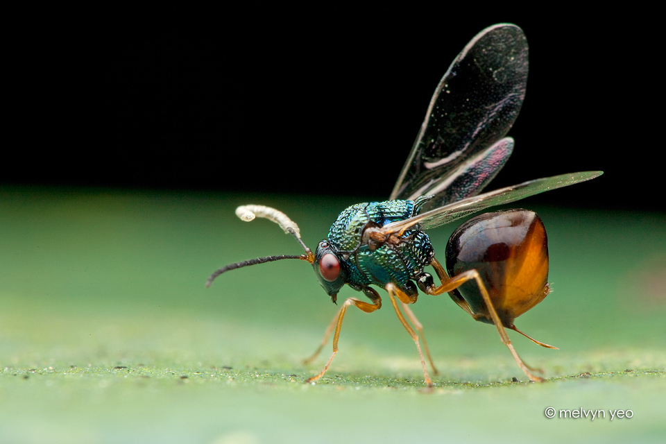 Eucharitid Wasps by melvynyeo