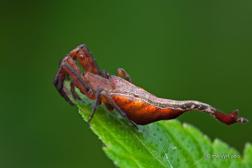 Arachnura, Scorpion-tailed Spider By Melvynyeo On DeviantArt