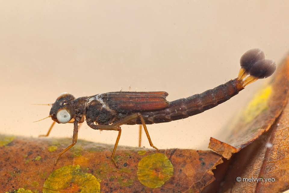 Damselfly larva by melvynyeo