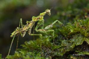 Majangella moultoni, Moss Mantis by melvynyeo