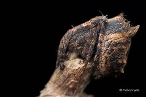 Tree Stump Orb Weaver Poltys sp.