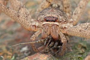 Huntsman eating spider by melvynyeo