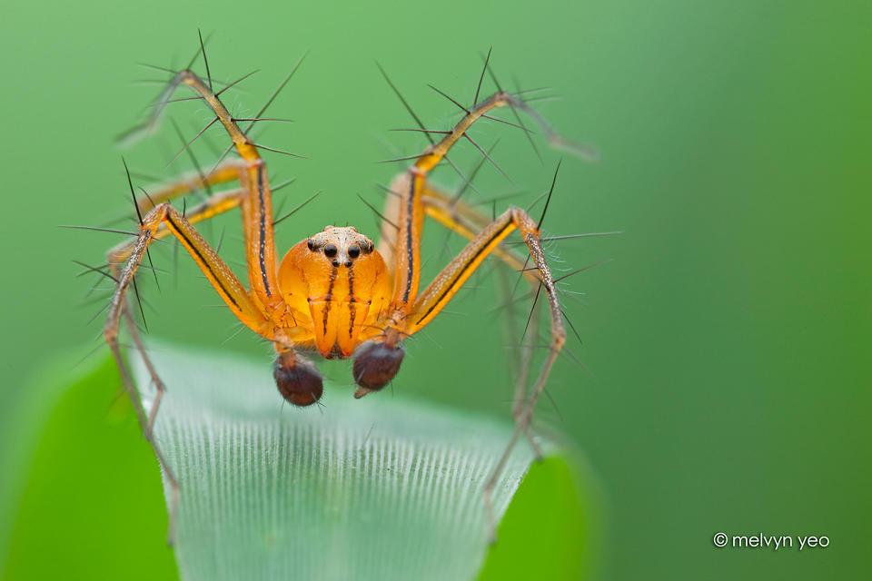Lynx spider by melvynyeo