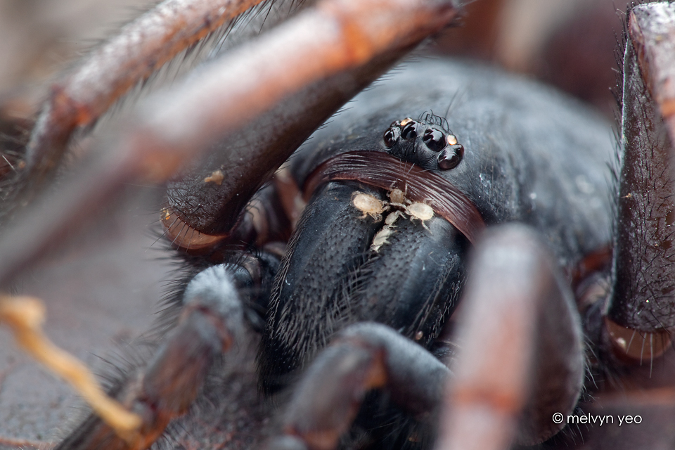 Damarchus workmani, Tube trapdoor Spider by melvynyeo on ...