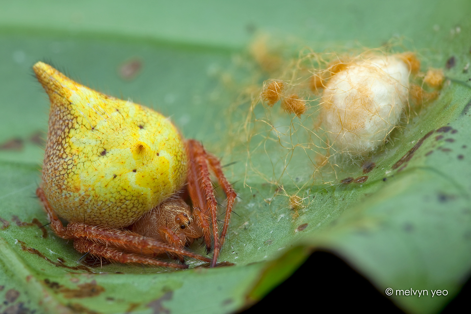 Orb weaver and her egg sac by melvynyeo on deviantart for Garden spider egg sac