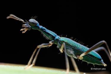 Tiger Beetle by melvynyeo