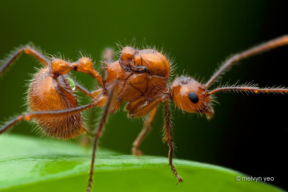 Myrmicaria sp. by melvynyeo