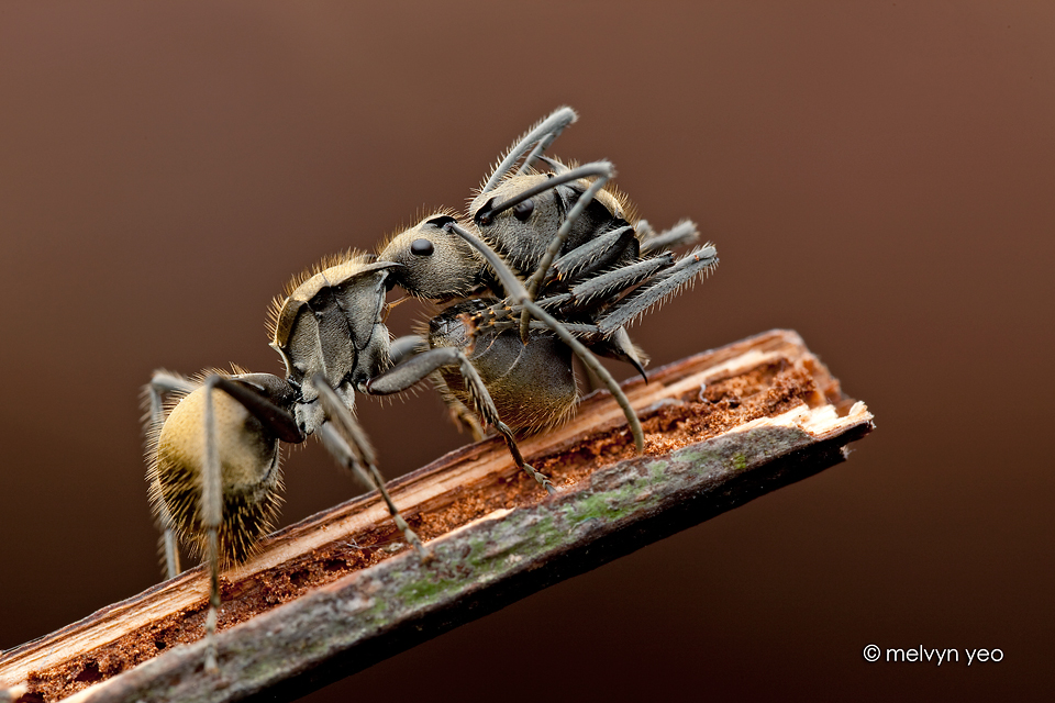 Ant carry ant by melvynyeo