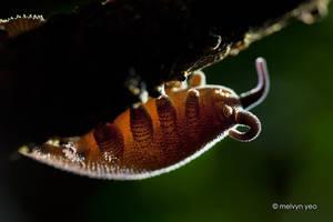 Backlit velvet worm by melvynyeo