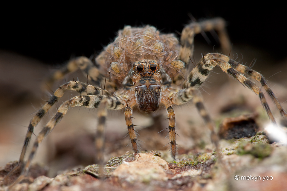 Wolf Spider with Babies by melvynyeo on DeviantArt