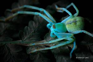 UV Florescence Huntsman Spider by melvynyeo