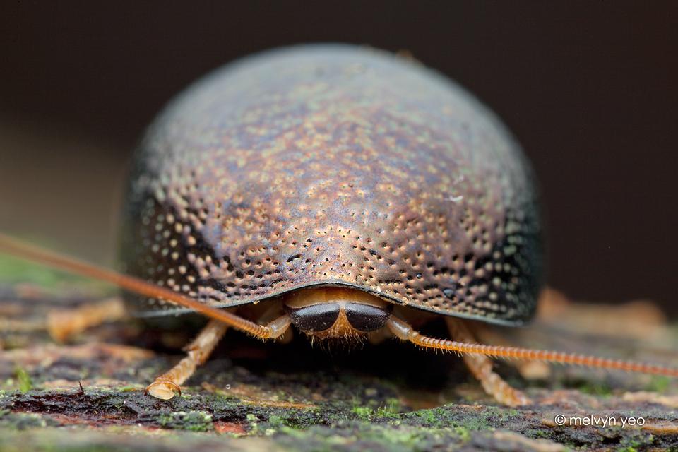 Pill Cockroach Perisphaerus sp. by melvynyeo