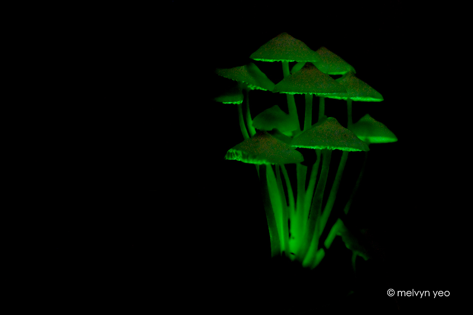 bioluminescence in fungi Among bioluminescent organisms, fungi are the most rare and least understood of more than 100,000 species of fungi, only 71 are known to produce green light, a process that uses oxygen and energy.