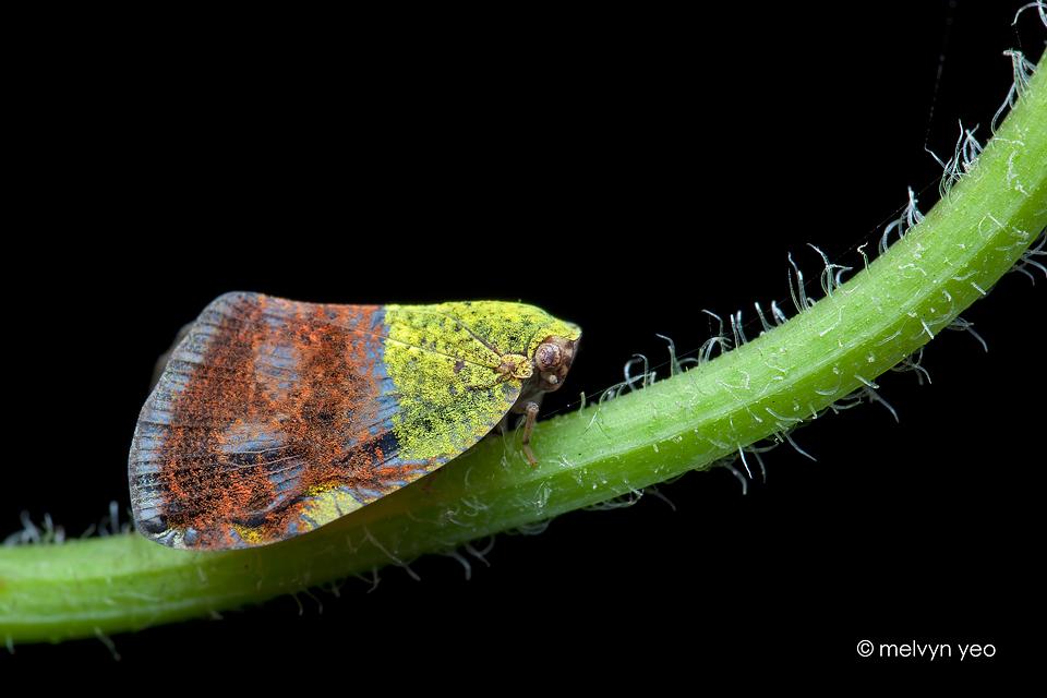 Moth-like Planthopper (Ricaniidae) by melvynyeo