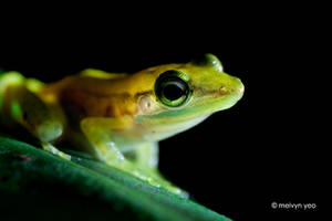 Backlit Frog by melvynyeo