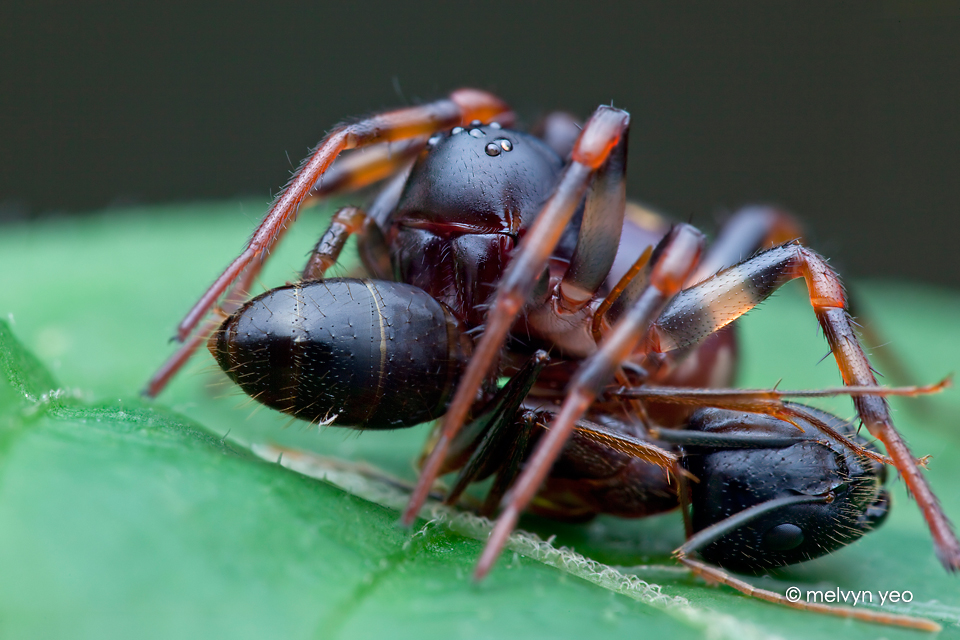 Ground Spider with ant prey by melvynyeo