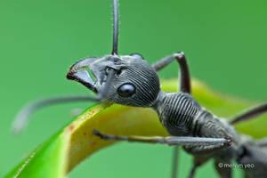 Fingerprint Ant by melvynyeo