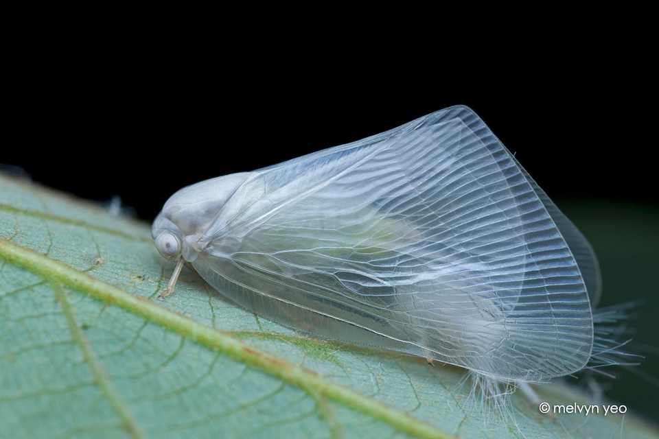 Freshly moulted planthopper by melvynyeo