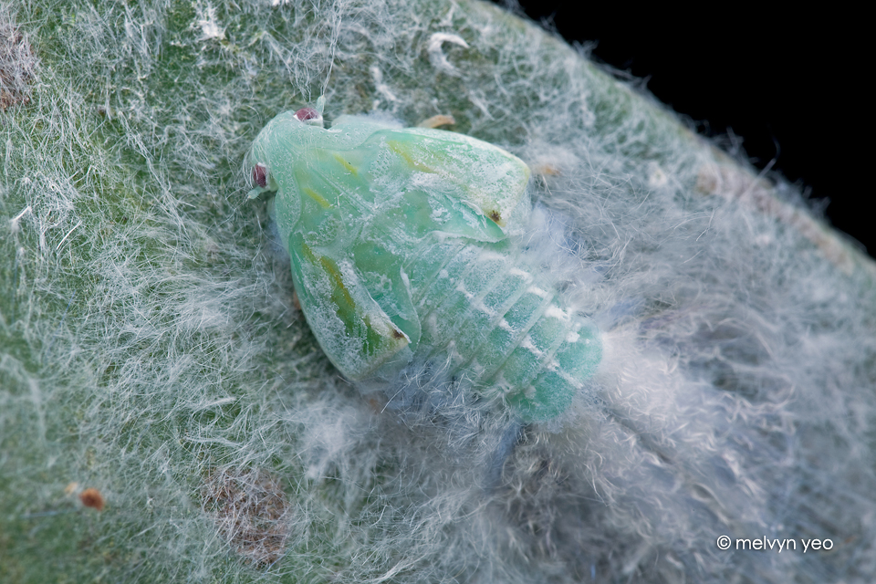 Fluffy PlantHopper Nymph by melvynyeo
