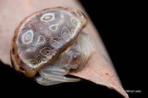 A walking mushroom (Paraplectana sp.) by melvynyeo