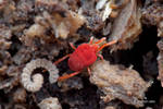 Velvet mite dragging millipede