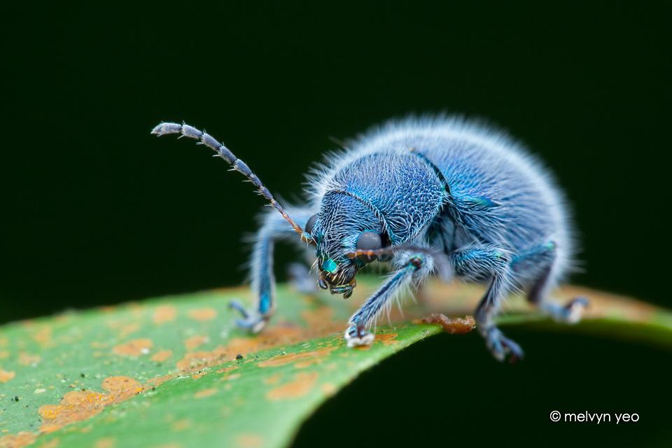 Mr Blue and Hairy (Trichochrysea hirta) by melvynyeo