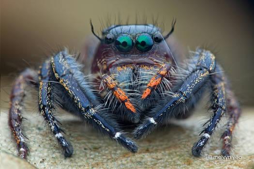 Jumping Spider (Hyllus sp.)