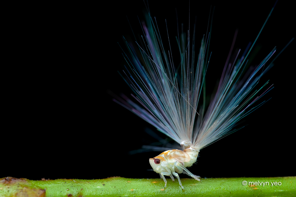 Planthopper Nymph by melvynyeo